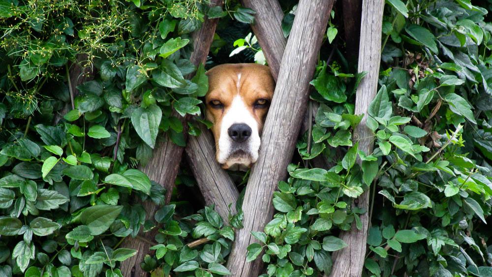 Auf dem Elbe-Radweg schaut ein Hund durch einen Zaun.